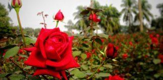 Rose Village Golap Gram গোলাপ গ্রাম